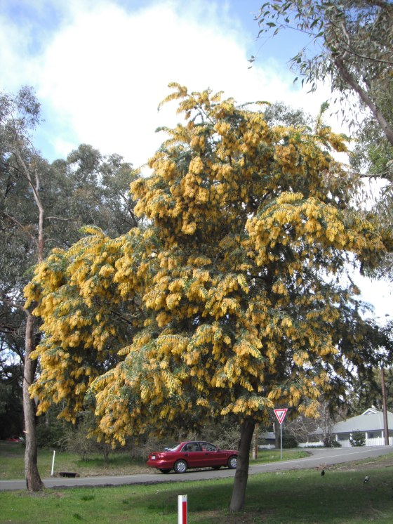 wattle, australia, stirling, adelaide